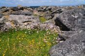 Travel photography:Small flowers grow in sheltered places along the Clare coastline , Ireland