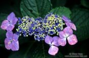 Travel photography:Japanese Hydrangea in Kamakura, Japan
