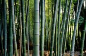 Travel photography:Bamboo grove in Kyoto, Japan