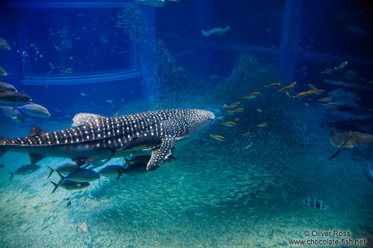 Whale shark at the Osaka Kaiyukan Aquarium