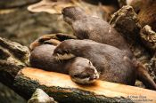 Travel photography:Asian smallclawed otters at the Osaka Kaiyukan Aquarium, Japan
