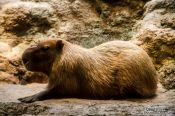 Travel photography:Capibara at the Osaka Kaiyukan Aquarium, Japan
