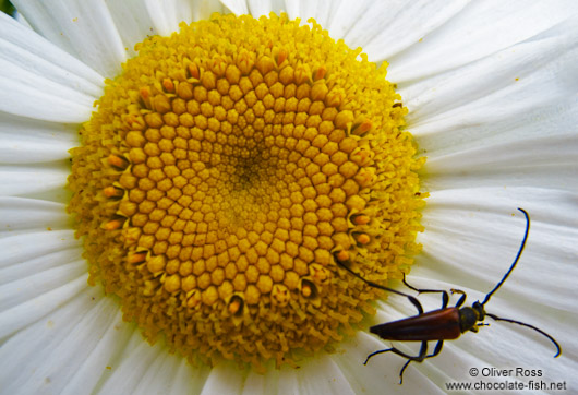 Mountain daisy with insect