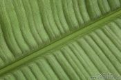 Travel photography:Banana Leaf Landscape