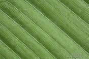 Travel photography:Banana leaf close-up