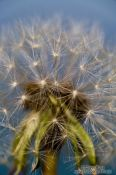 Travel photography:Dandelion seeds