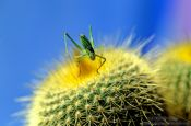 Travel photography:Grasshopper on cactus