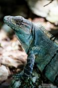 Travel photography:Iguana at Chichen Itza, Mexico