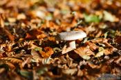 Travel photography:Forest mushroom on autumn leaves, Germany