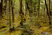 Travel photography:Native beech forest in Fiordland National Park, New Zealand