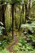 Travel photography:Native forest near Fox Glacier, New Zealand