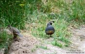 Travel photography:Quails in Abel Tasman National Park, New Zealand