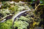Travel photography:Falla`s Skink, New Zealand