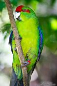 Travel photography:Kakariki parakeet, New Zealand