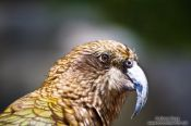 Travel photography:Kea close-up, New Zealand