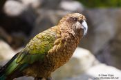 Travel photography:Kea, New Zealand