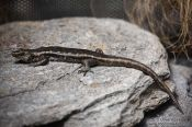 Travel photography:Otago skink, New Zealand