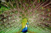 Travel photography:A Peacock, New Zealand
