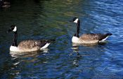 Travel photography:Wild geese near Wanganui, New Zealand
