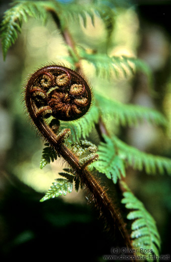 Uncurling fern