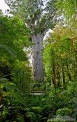 Travel photography:Giant Kauri tree in Waipoua forest, New Zealand
