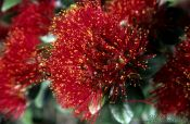 Travel photography:Pohutukawa flower in Wenderholm Regional Park, New Zealand