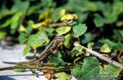 Travel photography:A lizard sunning itself, Slovenia