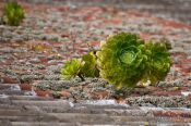 Travel photography:Plants growing on a roof top in Anaga Rural Park, Spain