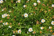 Travel photography:Small mountain daisies on the Anaga peninsula, Spain