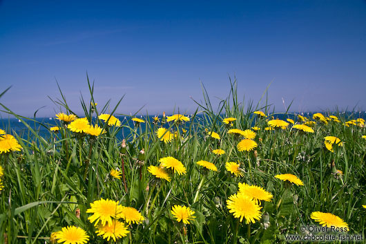 Dandelion flowers on a coastal meadow