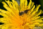 Travel photography:Bee on dandelion flower, Germany