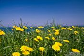 Travel photography:Dandelion flowers on a coastal meadow, Germany