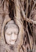 Travel photography:Tree root growing over a Buddha head at a temple in Ayutthaya, Thailand