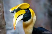Travel photography:Great Hornbill in Chiang Mai Zoo, Thailand