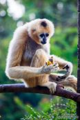 Travel photography:Monkey eating a banana in Chiang Mai Zoo, Thailand