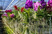 Travel photography:Hundres of flowering orchids a the Mae Rim Orchid Farm, Thailand