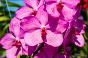 Travel photography:Pink flowering orchid at the Mae Rim Orchid Farm, Thailand