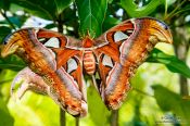 Travel photography:Giant butterfly at the Mae Rim Orchid Farm, Thailand