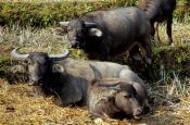 Travel photography:Water Buffalos in Chiang Rai province, Thailand