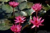 Travel photography:Water lilies in Chiang Rai Province, Thailand