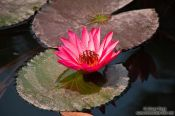 Travel photography:Water lily at Hanoi´s Temple of Literature, Vietnam