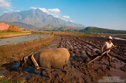 Ploughing a rice field near Sapa with Fansipan mountain in the background