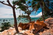 Travel photography:Cows having a siesta in the shade at Mui Ne beach, Vietnam