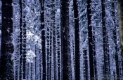 Travel photography:Frozen pine trees, Germany
