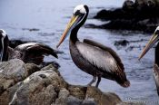 Travel photography:Pelican in the Pan de Azucar Ntl. Park, Atacama desert, Chile